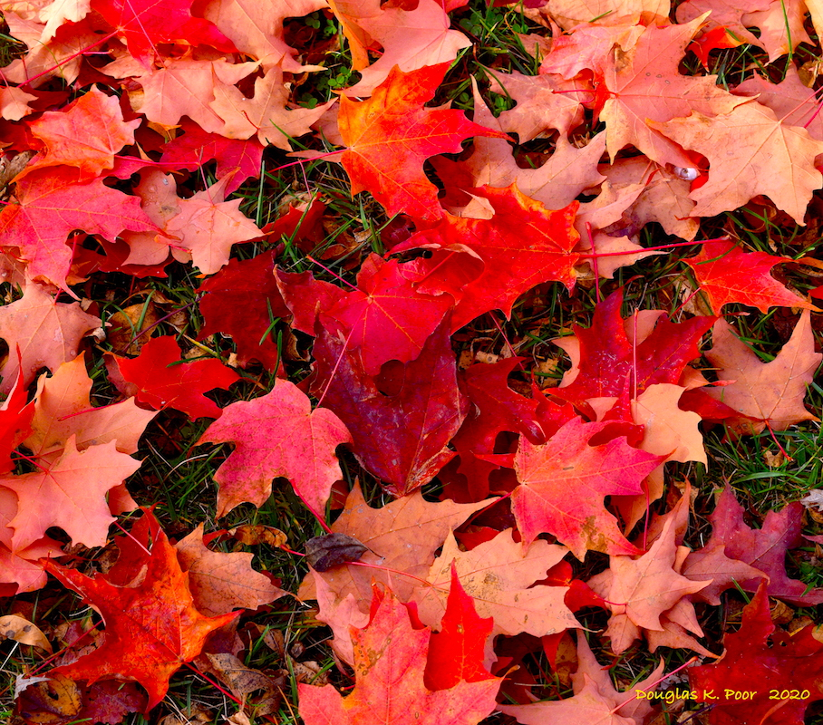 MULTI-COLORED-MAPLE-LEAVES-ON-GROUND-CLOSER====================MULTI-COLORED-MAPLE-LEAVES-ON-GROUND-CLOSER