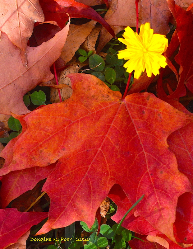 YELLOW-FLOWER-AND-RED-ORANGE-MAPLE-LEAF=======================YELLOW-FLOWER-AND-RED-ORANGE-MAPLE-LEAF