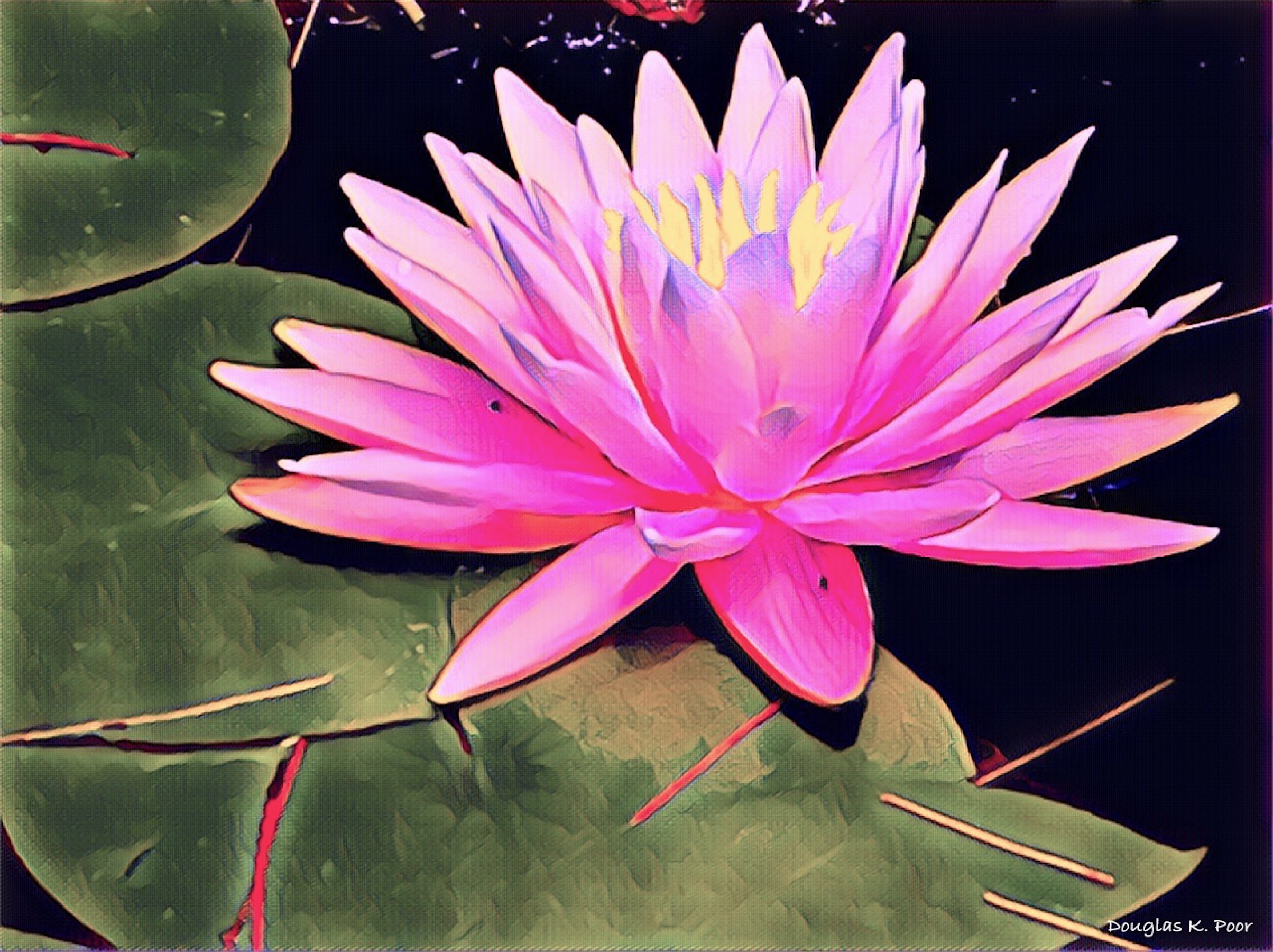 =====================================================================================================================================PINK-WATER-LILY