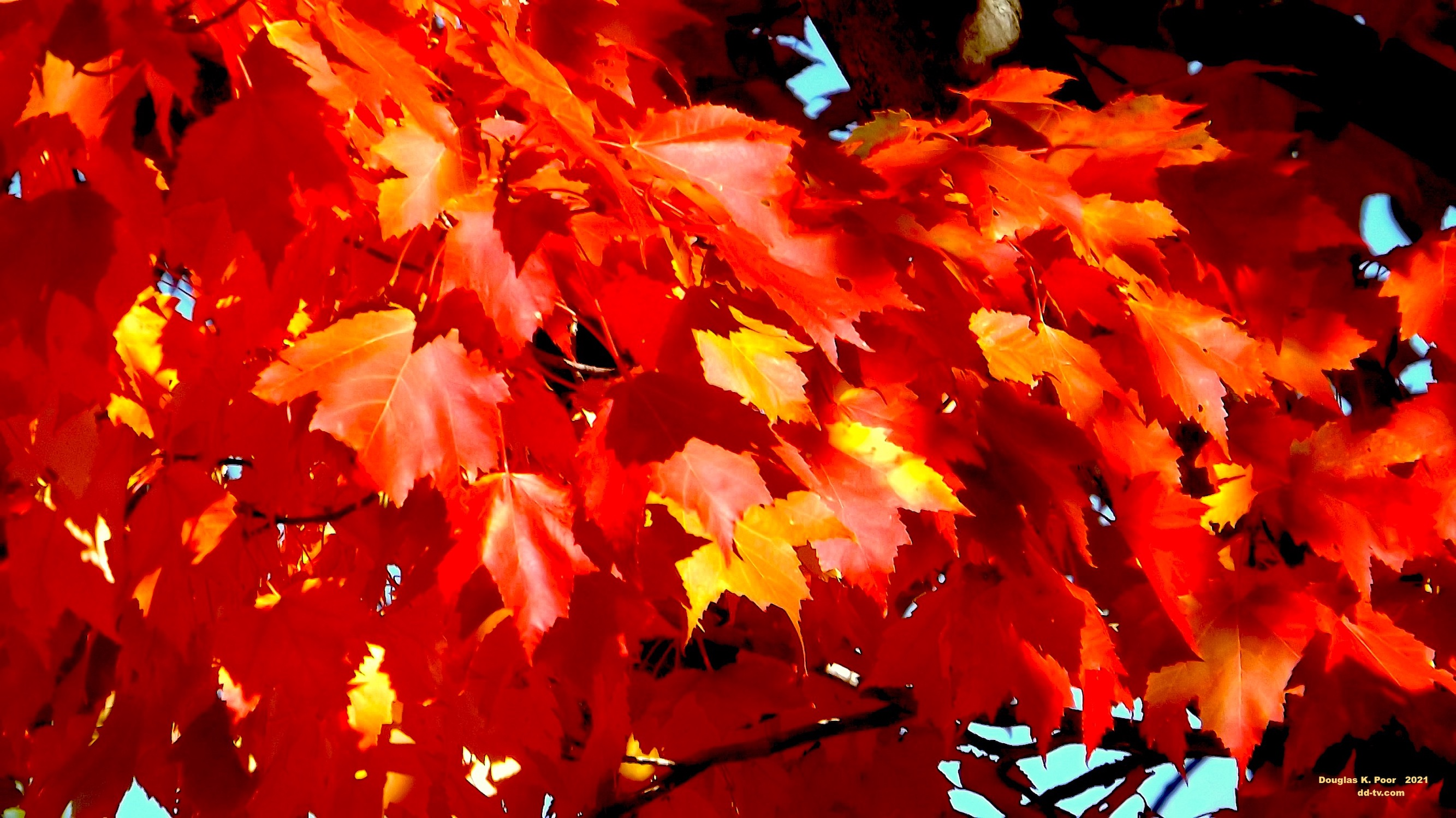 =================--MAPLE-LEAVES-CLOSE-UP-smaller-size==============================================================================================================--MAPLE-LEAVES-CLOSE-UP-smaller-size