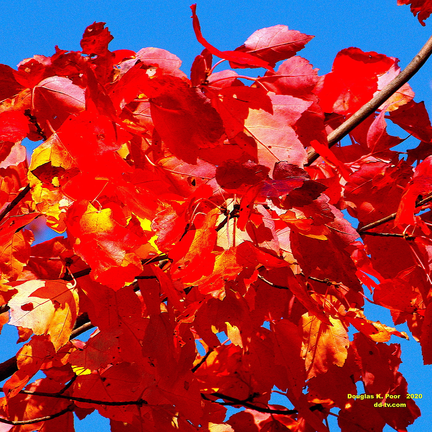 ================-CLUMP-OF-MAPLE-LEAVES-AND-BLUE-SKY-CLOSE-smaller-size==========================================================================================================-CLUMP-OF-MAPLE-LEAVES-AND-BLUE-SKY-CLOSE-smaller-size==========