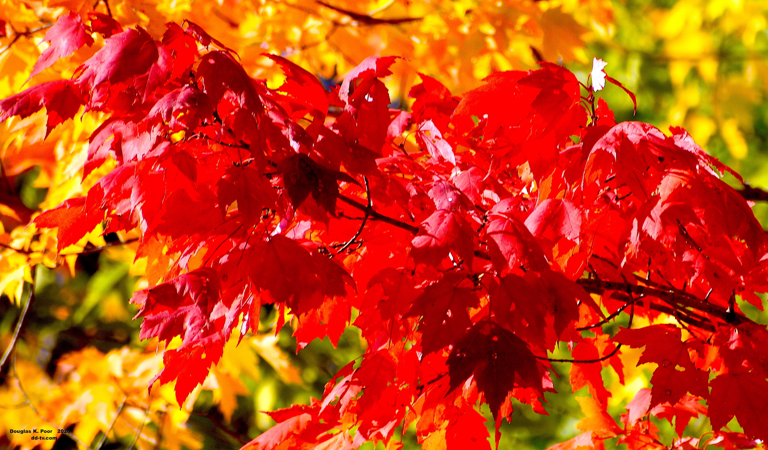 ================-LIMB-RED-MAPLE-FOLIAGE-1-smaller-size============================================================================================================-LIMB-RED-MAPLE-FOLIAGE-1-smaller-size