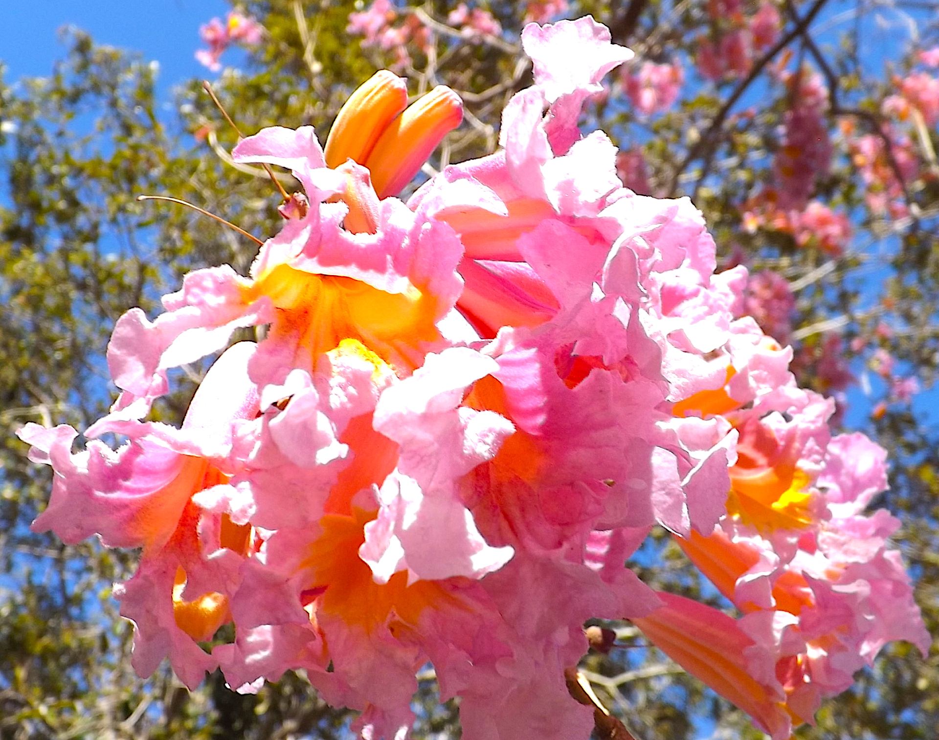 =======PINK AND YELLOW TREE FLOWERS CLOSE=========================================================================================================================================================PINK AND YELLOW TREE FLOWERS CLOSE