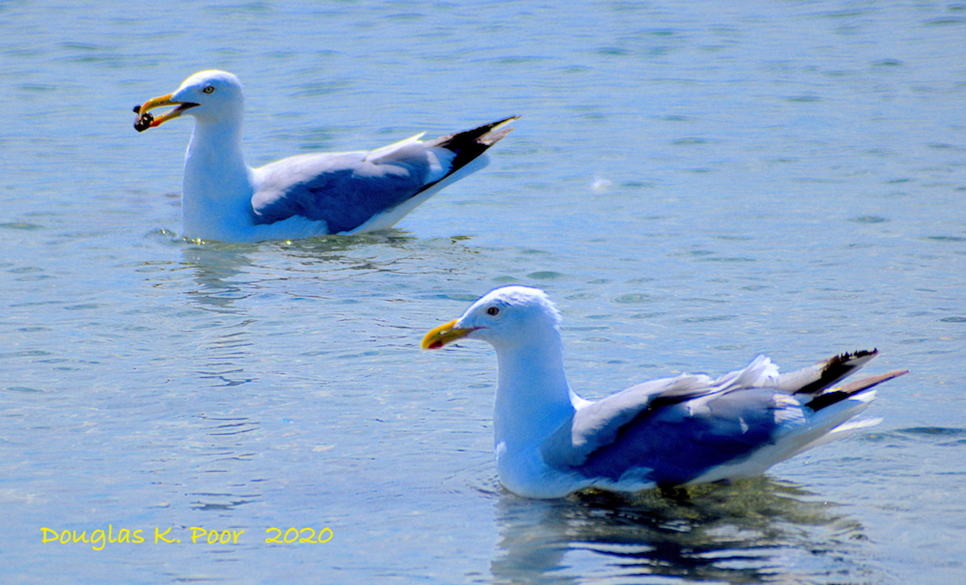 2 SEAGULLS SWIMMING IN TANDEM PHOTO BY DOUGLAS K. POOR