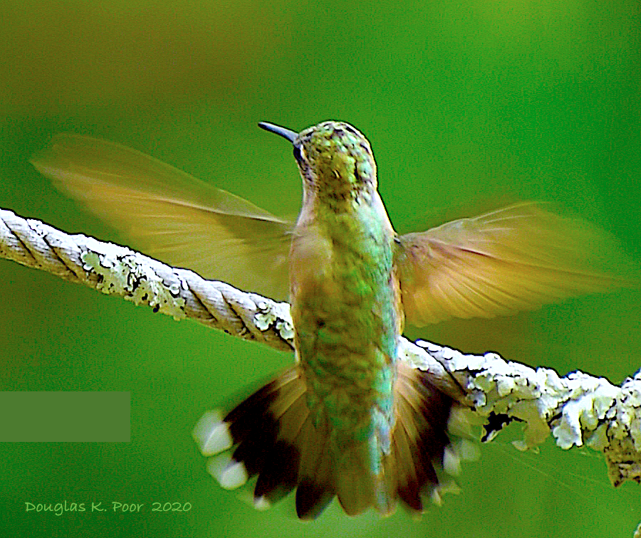 Humming Bird close wings shown pictures by Douglas K. Poor