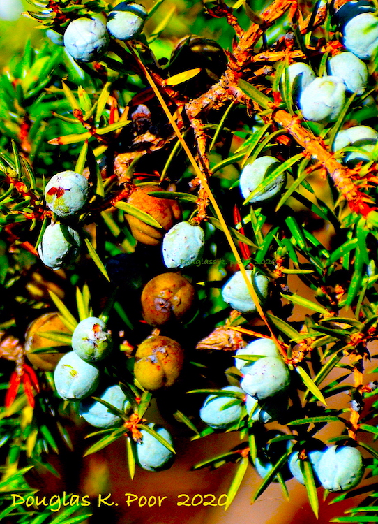JUNIPER BERRIES CLOSE UP PICTURE BY DOUGLAS POOR