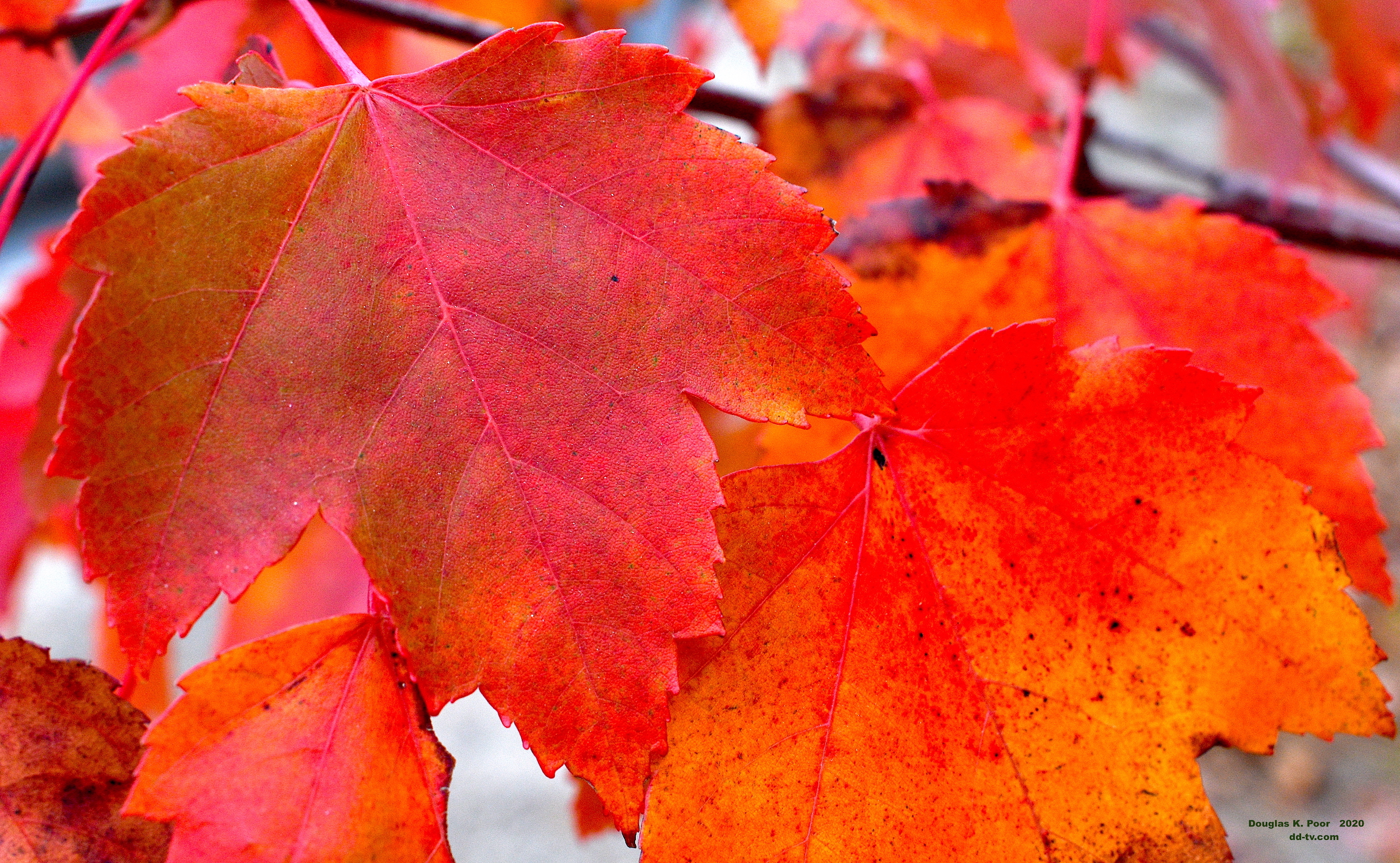 ====================RED-AND-ORANGE-MAPLE-LEAVES-CLOSE=================================================================================================================================================RED-AND-ORANGE-MAPLE-LEAVES-CLOSE