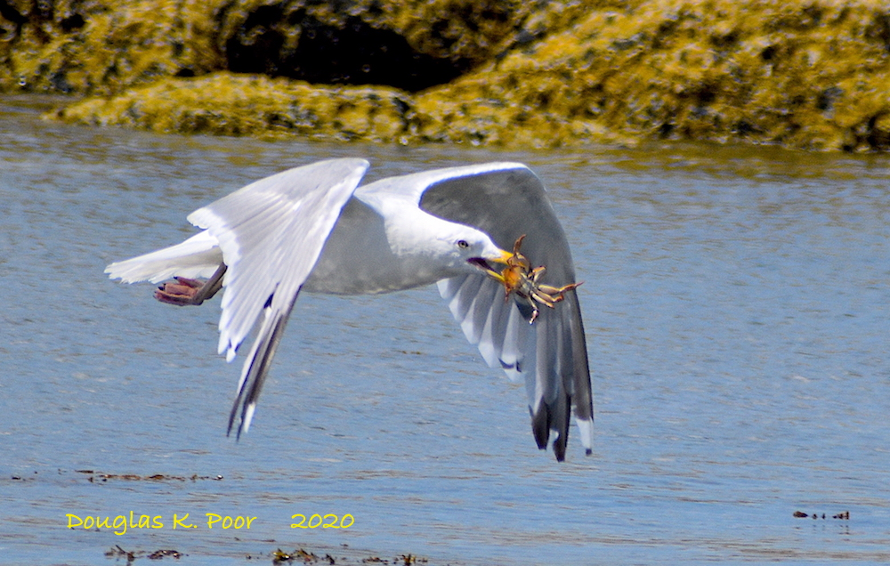 SEAGULL FLYING WITH CRAB BY DOUGLAS K. POOR dd-TV.com