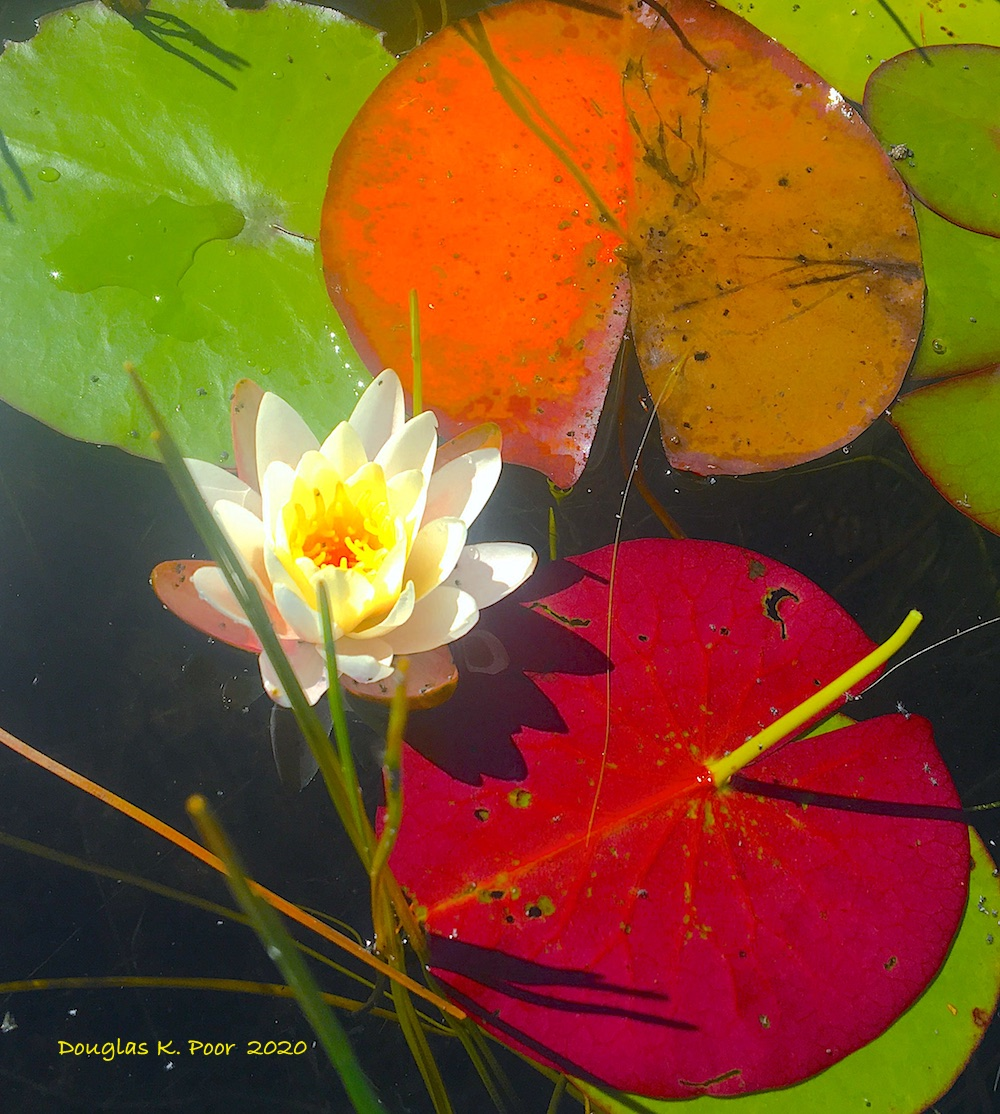 ====================WATER LILY AND RED LEAVES PICTURE BY DOUGLAS K. POOR dd-TV.com===============