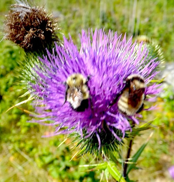 =============2-BEES-ON-THISTLE=========================================================================================================================================================2-BEES-ON-THISTLE
